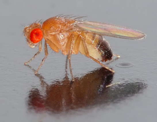 fruit_fly_business_evolution_mike_volpe_blog_Drosophila_melanogaster.jpg